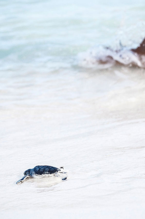 9. Witness baby sea turtles hatch in Costa Rica. After a night-time hike, stay up to watch tiny sea turtles dig their way out of the sand and race to the ocean on this tropical biology program. See this and other epic study abroad adventures on our blog.