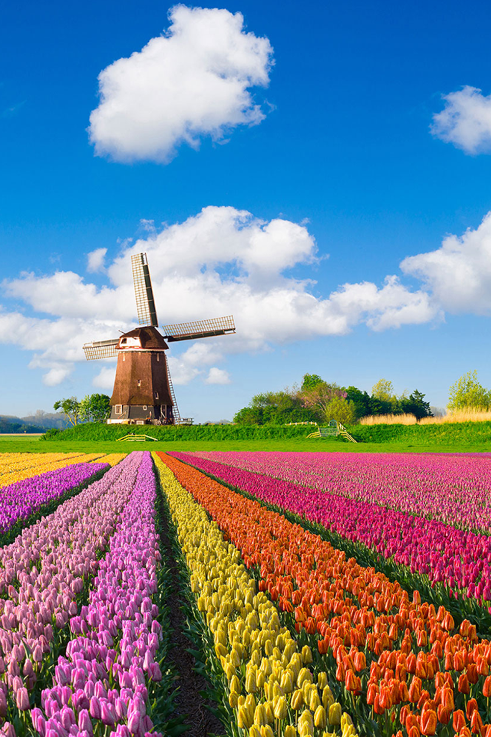 Tulip field and windmill in the Netherlands