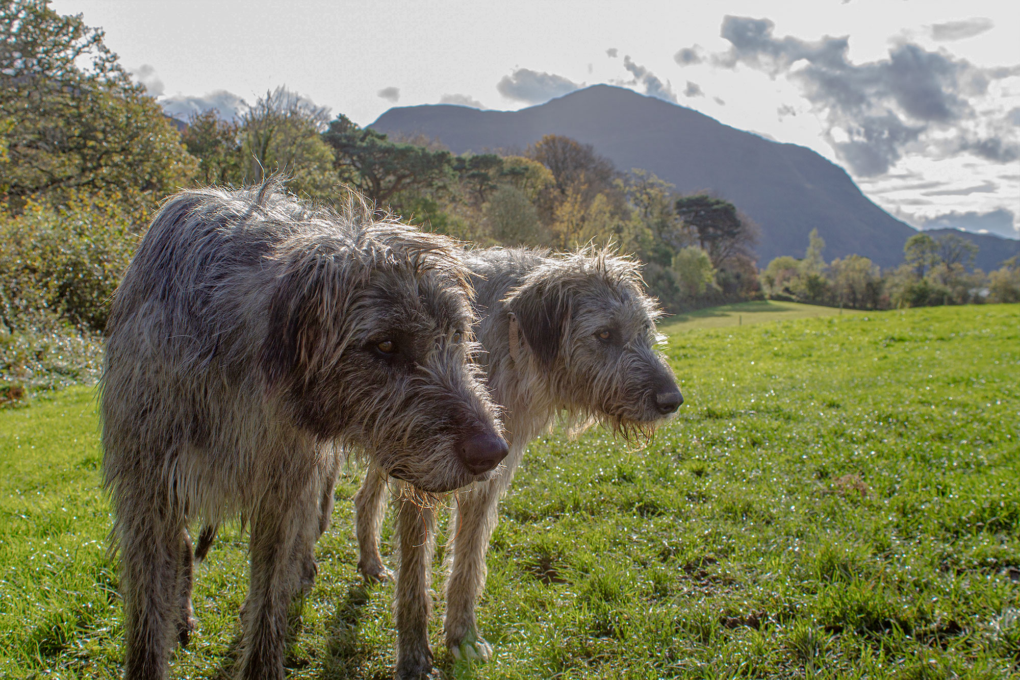 two Irish wolfhounds in the countryside of Galway, Ireland